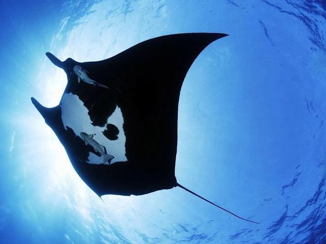 Squali, manta gigante, tartarughe sono tra le nuove specie protette dalla Cites