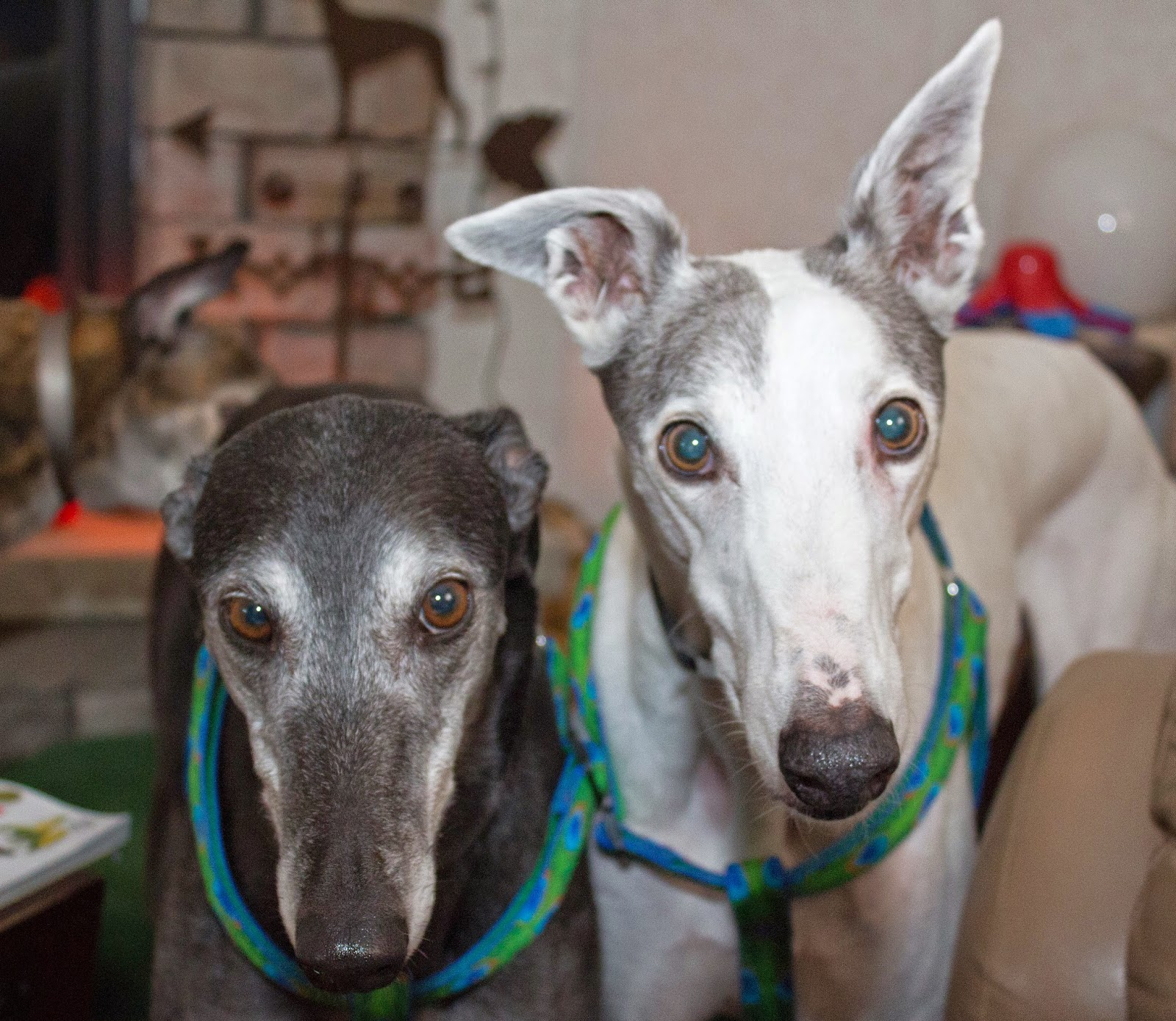 Blue and Bettina greyhound