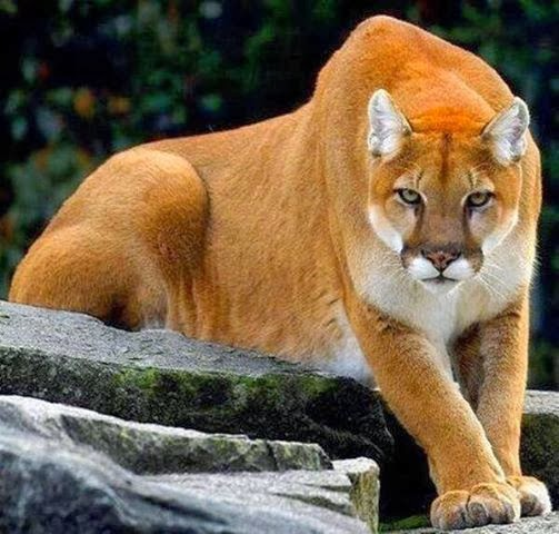 Cougars are more closely linked to domestic house cats than to the ...