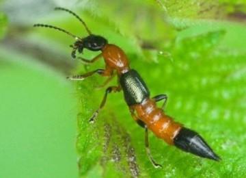 Gambar Serangga Tocat