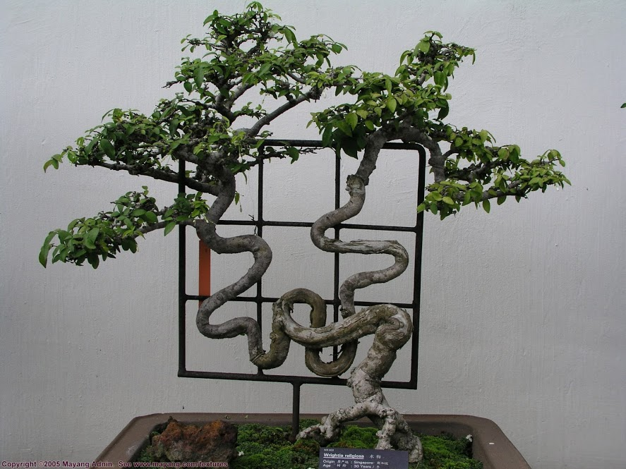 Unique collections bonsai art for Unique bonsai trees