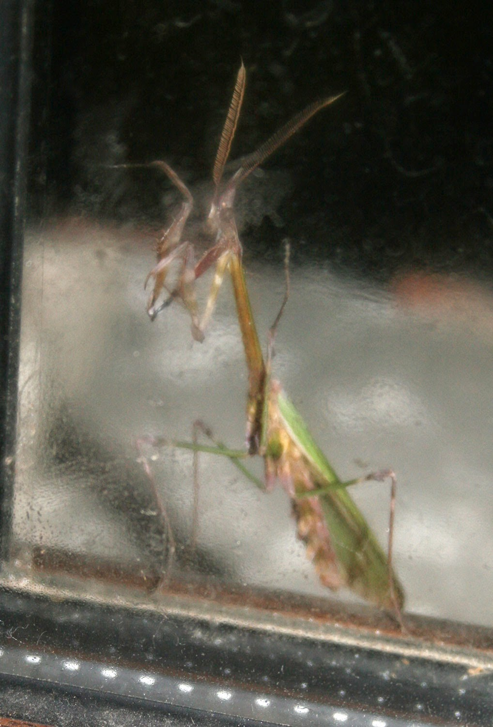 Female Preying Mantis at the window