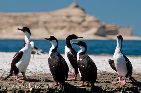 King Cormorant in Peninsula Valdes