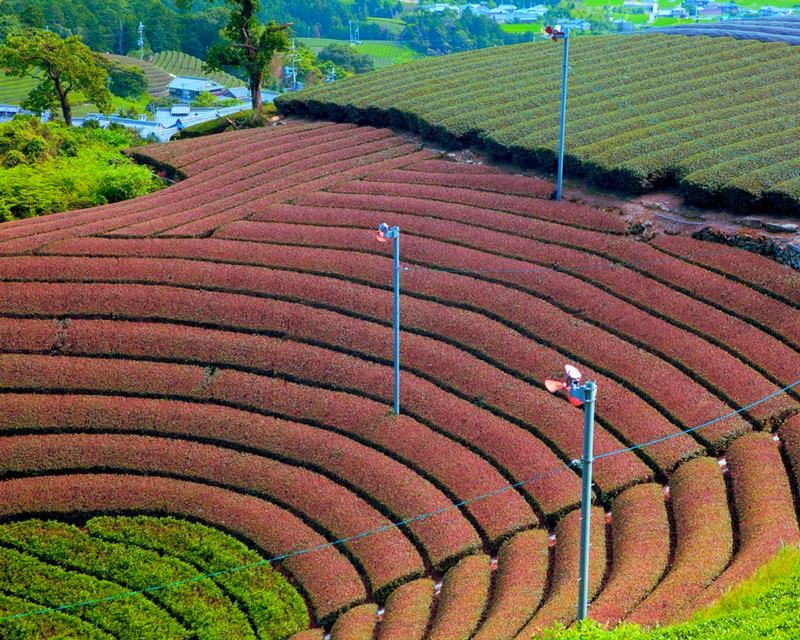 Harayama tea district of the city Wazuka