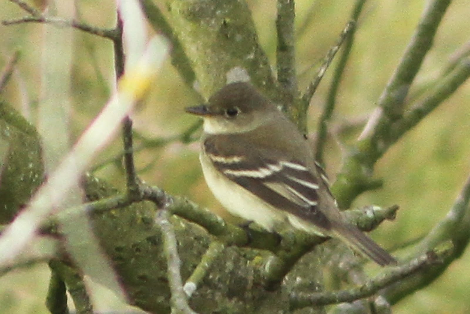 ALDER FLYCATCHER