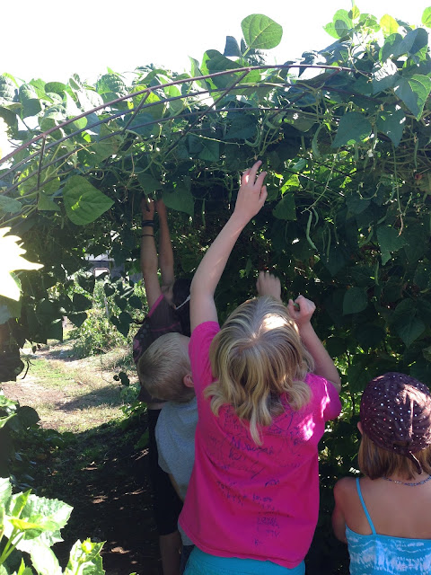 green bean tunnel grassroots garden eugene oregon