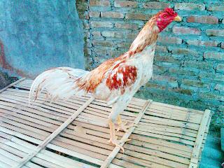 Sapu Jagat King Farm : Ayam BK Asli Import Langsung dari Thailand