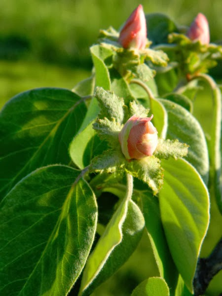 Quince flower buds