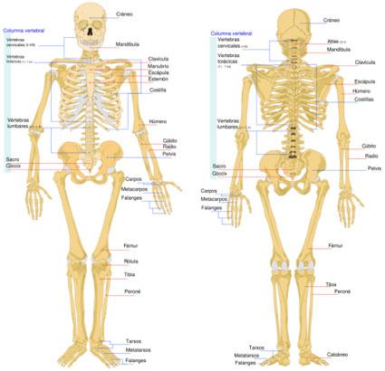 El cuerpo humano con todas sus partes el esqueleto - Imagui