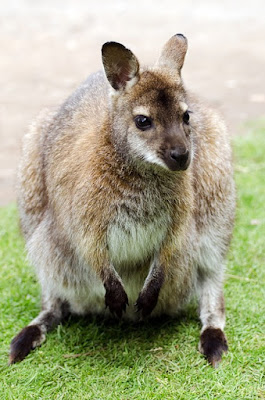 Amazing Australian animals