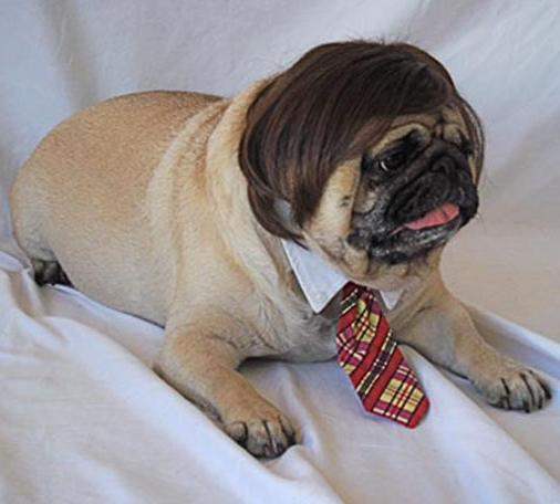 Animals Wearing Wigs Animals with wigs fashionable pug