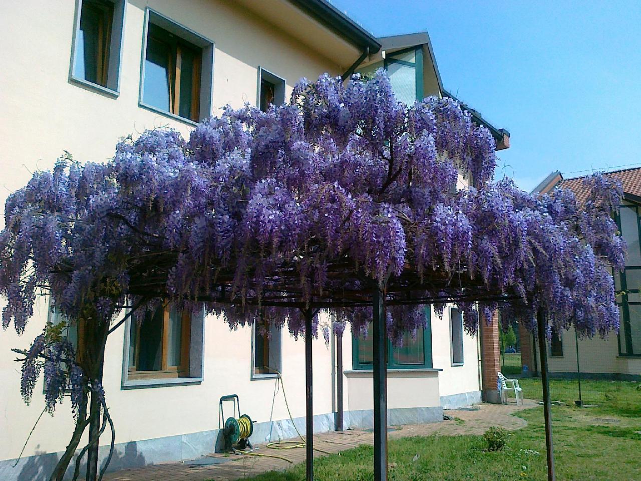 Enrica signora g il glicine simbolo for Bouganville fioritura