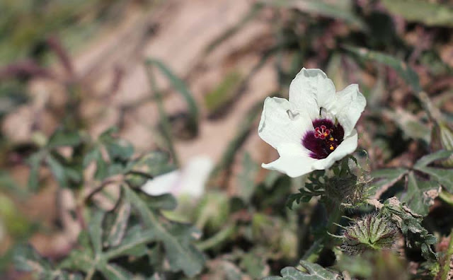 Flower of an Hour