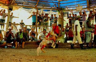 Y la fiesta de los gallos cubanos no paró