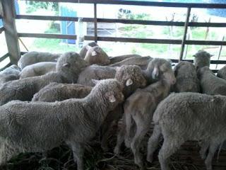 kambing biri biri aqiqah