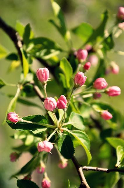 Rosa Knospen im Frühling
