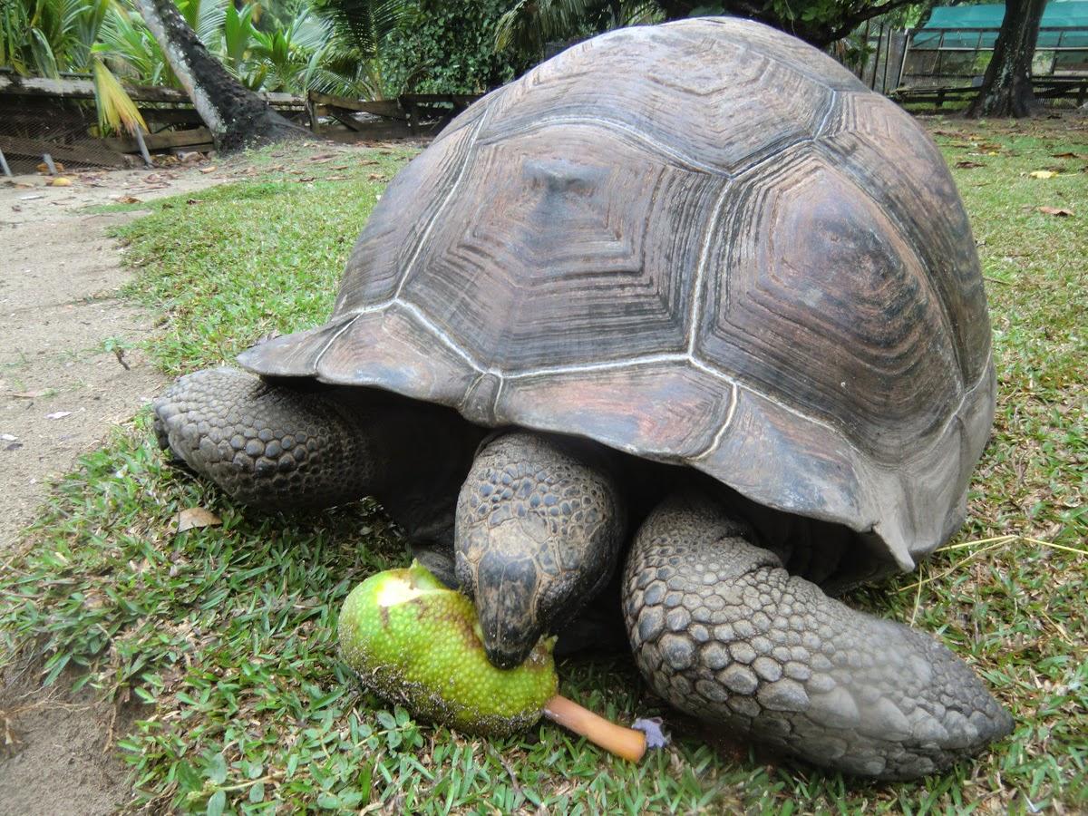 Черепаха-ест