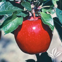 http://texaspecannursery.com/product/winesap-apple/