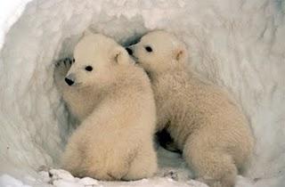 El deshielo del Ártico mata a más cachorros de osos polares