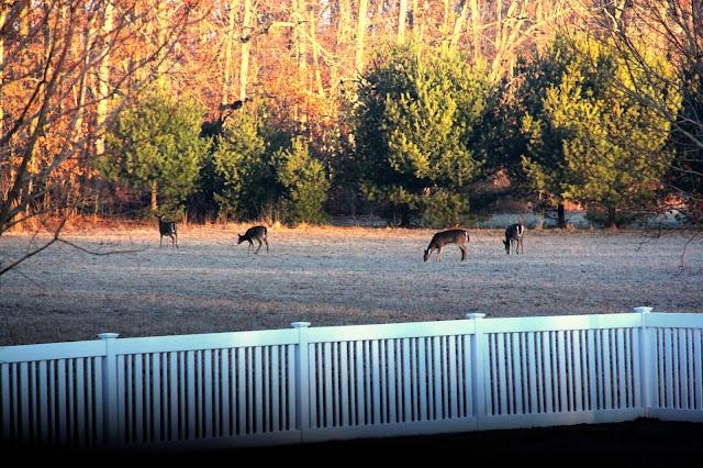 breakfasting deer