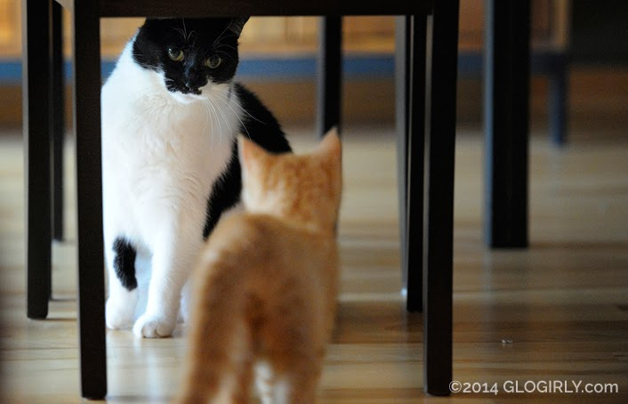 Glogirly Katie Cat and Waffles Kitten First Meet
