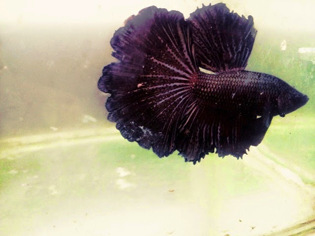 Joe 39 s aquaworld for exotic fishes mumbai india 9833898901 for Betta fish for sale