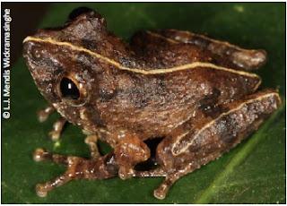 Bambaradeniya's Shrub Frog, Pseudophilautus bambaradeniyai, Amphibians in Sri Lanka, endemic frog, sri lankan frog, bush frog