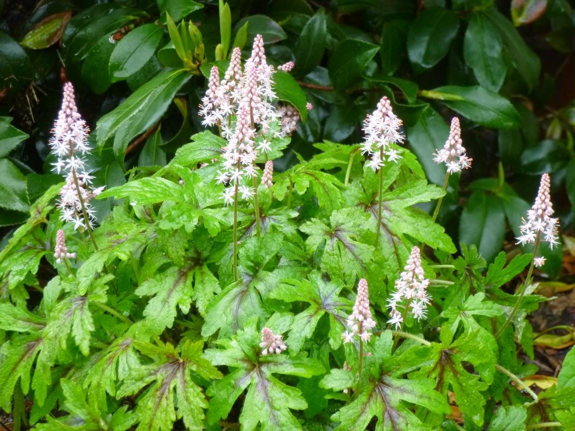 "Tiarella cordifolia ""Pink Skyrockets"" flower spikes"