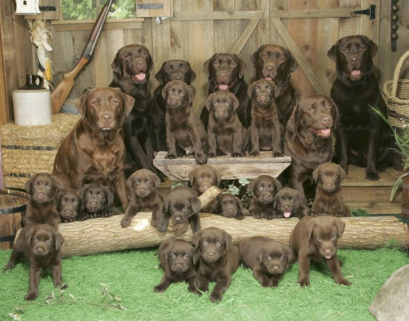the ultimate picture of chocolate labs