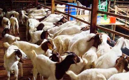 """Jelang Idul Adha, pedagang hewan kurban menjamur di berbagai sudut Jakarta. Trotoar pun disulap jadi kandang dadakan. Salah seorang pedagang hewan kurban di RT 014 RW 07 Kelurahan Duri Pulo, Kecamatan Gambir, Jakarta Pusat, Ahyadi (57) bercerita banyak mengenai usaha yang sudah 40 tahun dia geluti itu.  Lahir dari keluarga yang gemar beternak kambing, Ahyadi mengenang awal mula bisnis kambingnya di mulai dari pemberian satu ekor kambing oleh kakeknya saat ia berusia remaja. Bermodal kepercayaan itu, dia nekat meneruskan hobinya dengan tekun dan terus belajar mengembangkan usahanya itu.  """"Saya ingat, dulu engkong saya cuma ngasih satu kambing. Tapi engkong yakin saya yang bisa ngembangin bisnis beginian,"""" ujarnya, dikutip Kompas.com.  Seperti orang yang berbisnis dari nol, Ahyadi mengaku awal mengembangkan usahanya sangat sulit. Namun ia tak pernah putus asa dan menikmati setiap kesulitan yang ditemuinya. Butuh waktu beberapa tahun untuk mulai terbiasa dengan pengembangbiakan kambing.  Setelah mengembangbiakan kambingnya, Ahyadi mulai beralih melebarkan sayap usahanya dengan menjadi pedagang hewan kurban mulai tahun 80-an. Tak ia sangka, berjualan hewan menjelang Idul Adha selalu menguntungkannya, meski ia segan menyebutkan besarannya, tapi ia mengaku bisa pergi haji dua kali di akhir tahun 80-an tersebut.  Bahkan, katanya, dulu setiap setelah Idul Adha, dia selalu mampu membeli satu rumah. Ahyadi butuh waktu lama memang untuk sampai dalam posisi saat ini. Beberapa permintaan hewan kurban pun dia penuhi, bahkan ia juga memasok hewan kurban baik sapi mau pun kambing ke berbagai perusahaan.  Saat ini Ahyadi mengaku punya 1.800 ekor kambing yang dikembangkan di Cianjur Jawa Barat. Namun, sukses usahanya itu bukan tanpa halangan. Ia mengaku pernah terpuruk karena bisnis hewan sangat rentan dengan serangan penyakit diantaranya yang paling parah yaitu antraks. Tak hanya itu, Ahyadi benar-benar dihantam masalah pada tahun 2007. Saat Jakarta dikepung banjir besar tahun itu, """