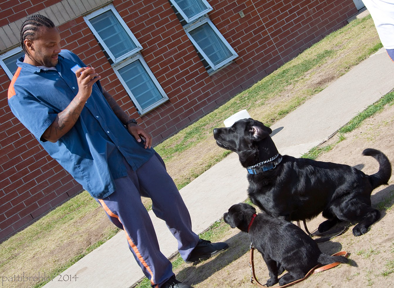 The picture is taken on an angle. An african american man dressed in the blue prison uniform is standing on the left with an apple in his right hand at his chest. His left hand is at his side. The man is looking down at two black labs sitting in front of him. The closest lab to the camera is a very small pup, her leash is draped on the ground. The young male lab is sitting beyond her with his tail in a curl and his legs poised like he his about to spring up. He is totally focused on the apple in the man's hand. There is a brick building behind them with four windows.