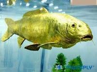 Meme Ikan Emas Asli