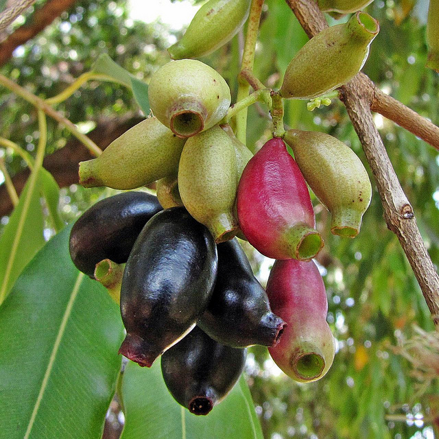 Koromcha | Precious fruits of Bangladesh