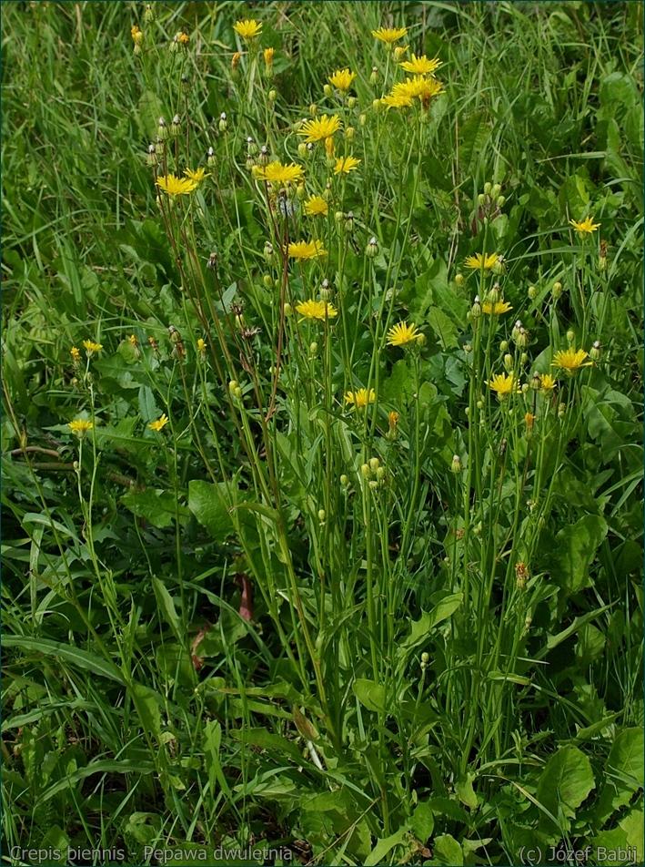 Crepis biennis - Pępawa dwuletnia pokrój