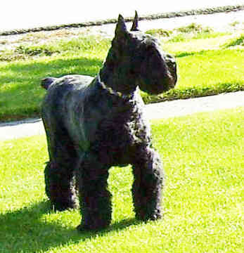 The Giant Schnauzer is a large, powerful and dominant breed that