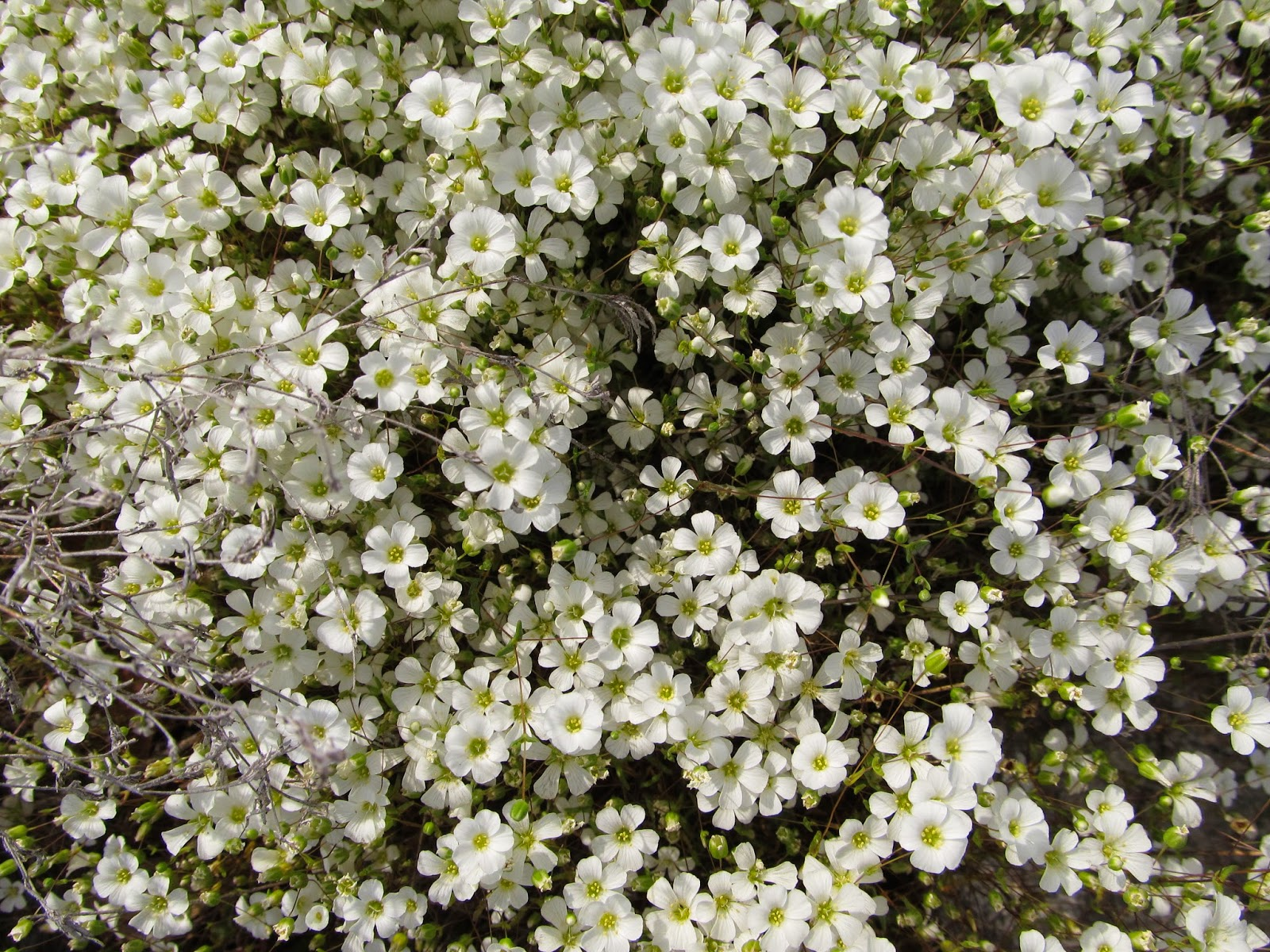 Before I Knew What These Were Called Used To Call Joyflowers Because They Gave Me Such Joy Are Sandwort Wort Is An Old English