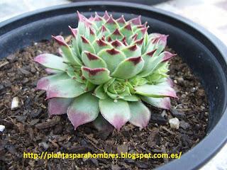 cactus sempervivum calcareum