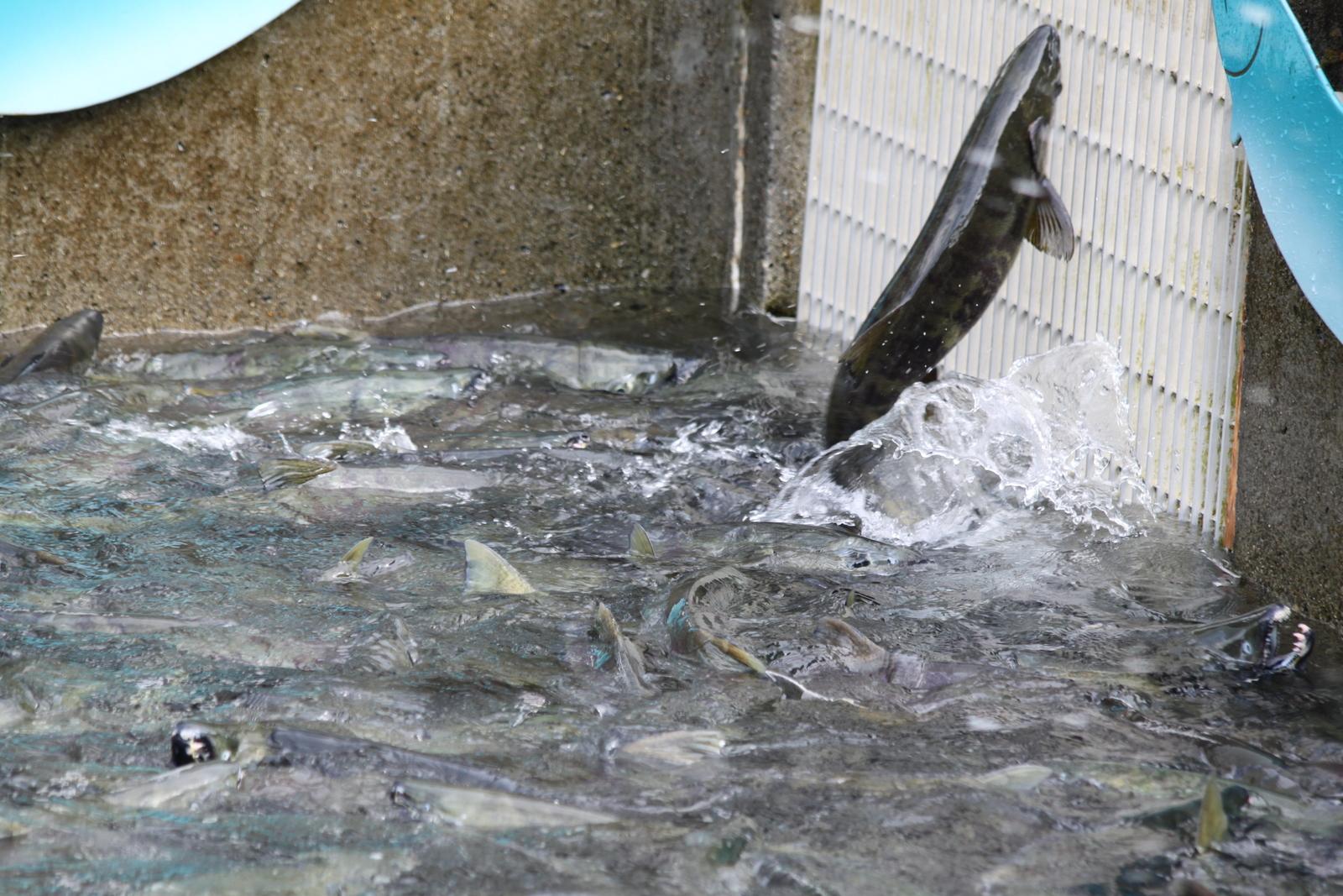 Alaska 2009 juneau july 14 17 for Fish hatchery jobs