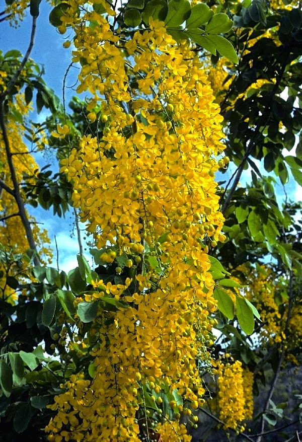 Golden shower tree phillips natural world unfortunately for the tree the weather has turned rough and wet the past couple days in its location near the st johns river mightylinksfo