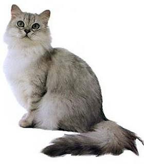 Asian Semi Longhair Cat Breed
