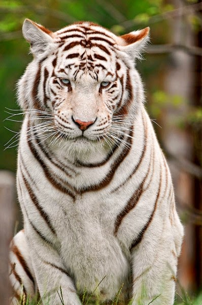 gambar macan putih gambar macan