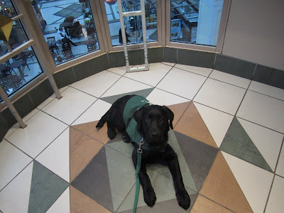 Black lab puppy Romero is lying in the centre of a fairly large glass elevator that is travelling from the second floor down to the main floor of a large shopping mall. He is wearing his green future dog guide jacket, is attached to a green leash, and is looking up sweetly into the camera. Through the glass, several customers are seen sitting at small round tables near a coffee stand.