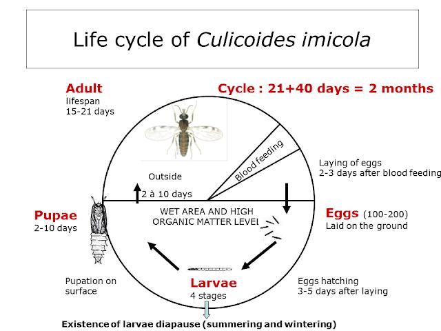 Hình 2: Vòng đời điển hình của một Culicoides