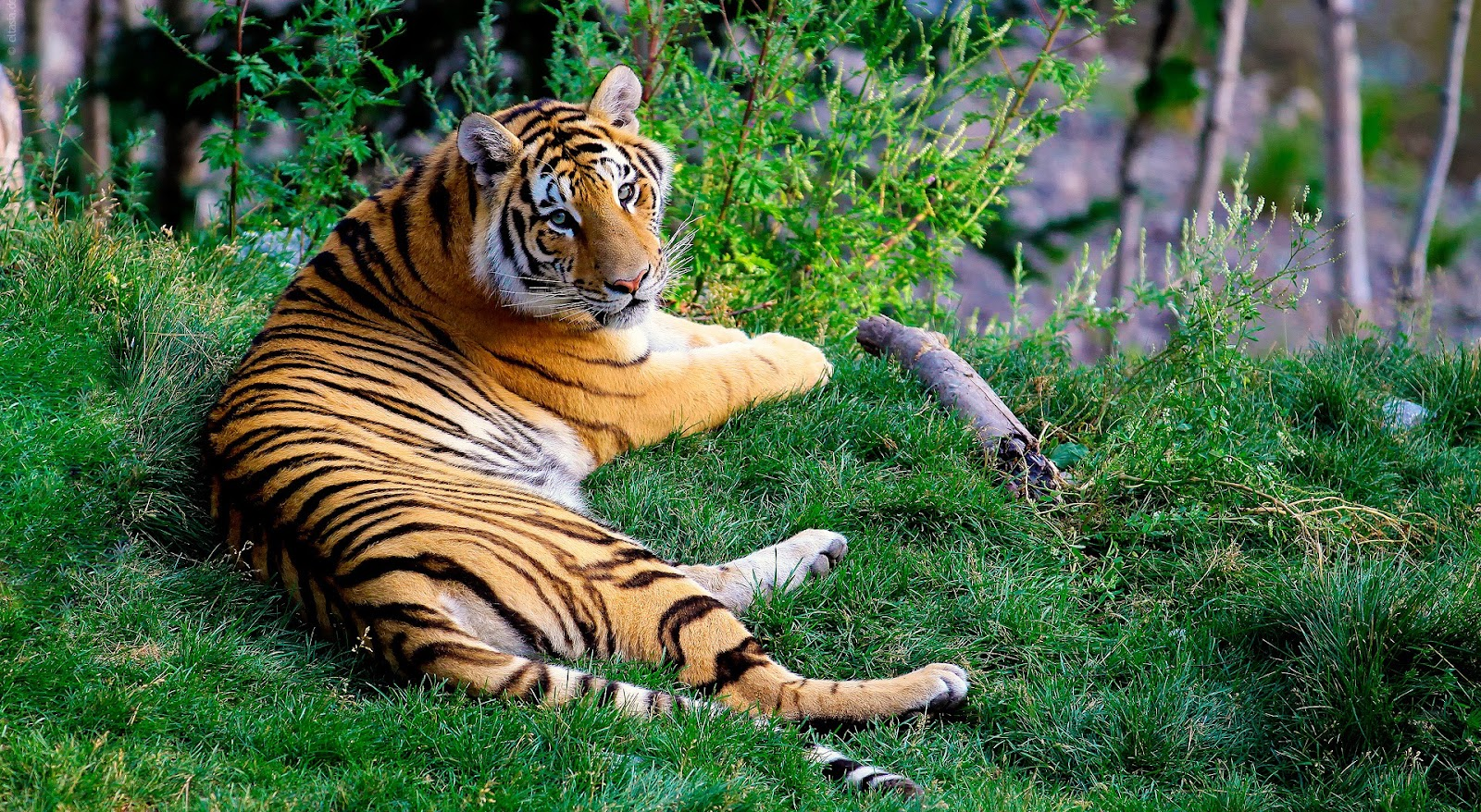 Beautiful 1080p hd tiger wallpaper hd wallpapers images - Tiger hd wallpaper for pc ...