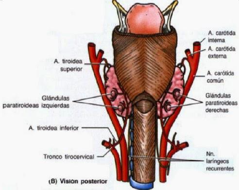 GLÁDULAS ENDOCRINAS: 8. Las paratiroides.