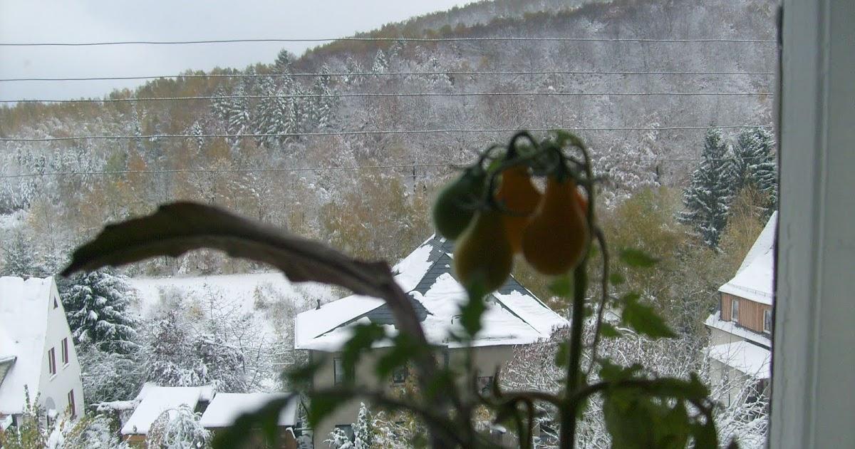 selbstversorgung f r genie er tomaten am fenster ernten im winter. Black Bedroom Furniture Sets. Home Design Ideas