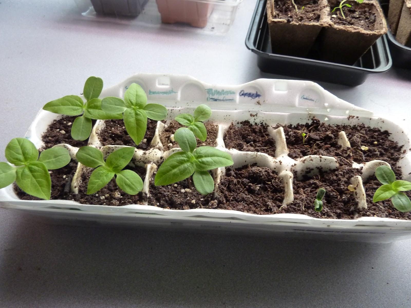 how to prepare soil for transplanting bean seedlings