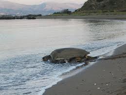 941 φωλιές χελώνας στον Κυπαρισσιακό Κόλπο