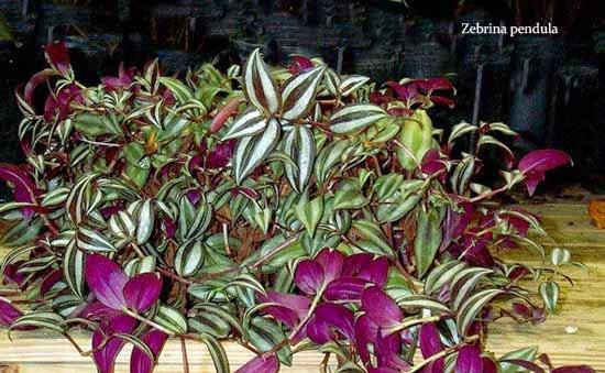 tanaman gantung hias