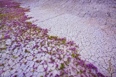 Indahnya Bunga Liar di Gurun Dataran Tinggi Colorado
